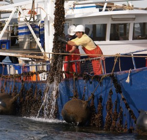 SeaBounty farmers checking mussel ropes in Port Phillip Bay